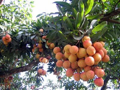 Nâng cao hiệu quả sử dụng phân bón cho cây ăn trái